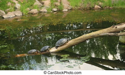 Turtles sunbathing on dead branch - Turtles sunbathing on a...