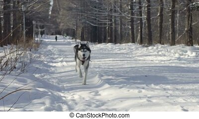 Siberian husky running in the snow. slow motion