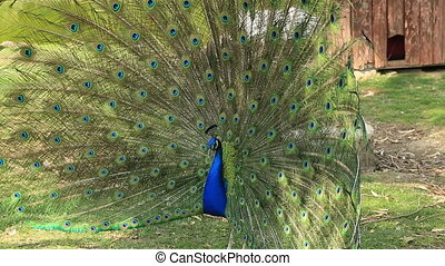 Portrait of beautiful blue peacock