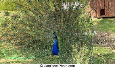 Portrait of beautiful blue peacock