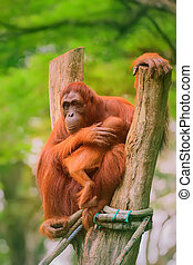 Adult orangutan sitting with jungle as a background