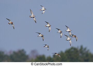 Ruff Philomachus pugnax - Ruffs in a flock in flight with...