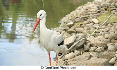 White young stork resting near the pond