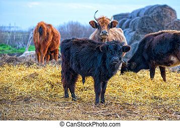 black calf (meat breed) at farm