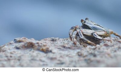 Crab on the rock at the beach, close-up - Crab on the rock,...