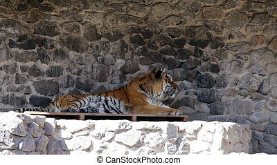 Zoo. An adult tiger resting