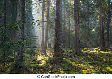 Sunbeam entering old coniferous stand of Bialowieza Forest -...