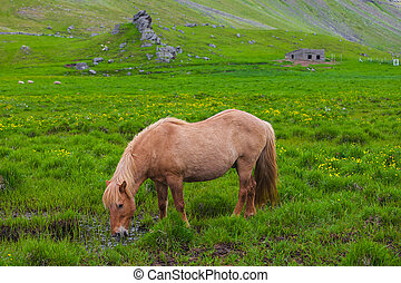 A lovely Icelandic Horse in a field - A lovely Icelandic...