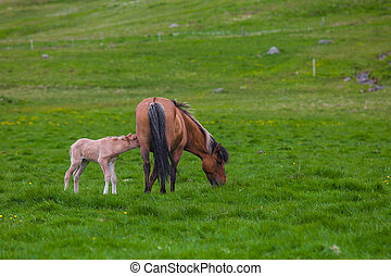 Icelandic Horses - Brown Horse and Her Foal in a Green Field...
