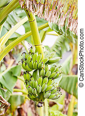 Banana plantation in paddy field, agriculture concept