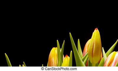 Tulip Flower Time-lapse - Time-lapse of tulipsTulipa sp...