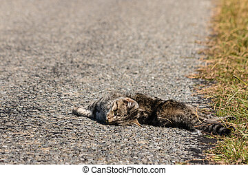 dead tabby cat lying on road - closeup of dead tabby cat...