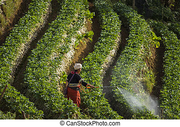 northern thailand hill tribe in chiangmai spraying bio...
