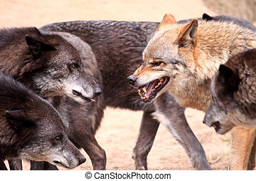 Wolves - Canis lupus- wolf