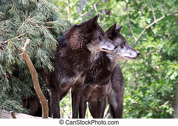 Wolf - Canis lupus- wolf