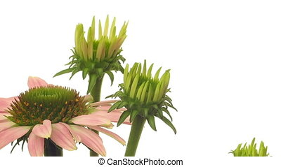 Echinacea Flower Time-lapse - Time-lapse of cone flowers...
