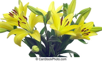 Yellow Lily Time-lapse - Time-lapse of yellow lilies...