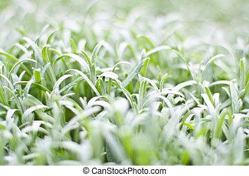 vit, Gräs