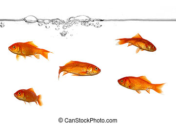 Water line and gold fish - A groupe of gold fish swimming in...