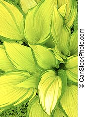 Hosta Leaves  - Hosta Leaves