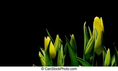 Yellow Tulips Time-lapse - Time-lapse of tulip flowers...