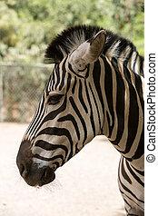 Zebra in a safari