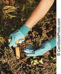 plantar, solo, plantar, semeando, flor, mão