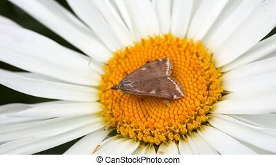 Moth - Brown moth on chamomile