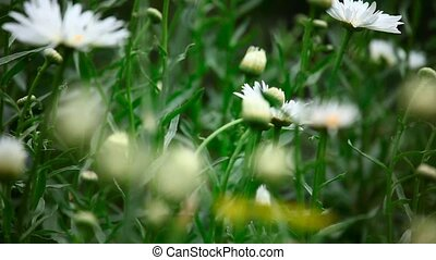 Garden daisy - Large garden daisy, variable focus