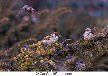 Young male sparrow Passer domesticus