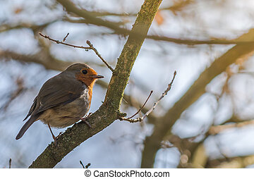 Small Robin in golden sunlight - European robin resting on...