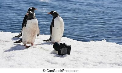 Gentoo Penguin with camera - Gentoo Penguin with camera...