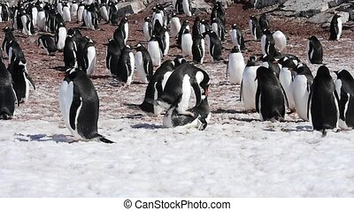 Gentoo Penguin colony - Gentoo penguin colony Cuvervle...