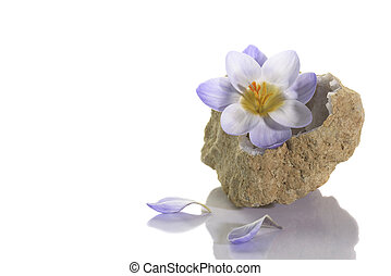 Crocus flower in quartz geode - Beautiful crocus flower in...