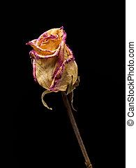 Withered rose isolated on a black background