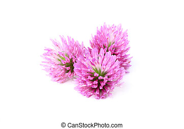 Red clover flowers - Red clover flowers isolated on white...