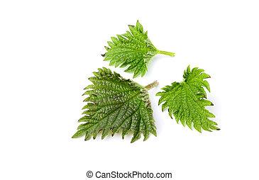 urtiga, folhas, isolado,  closeup