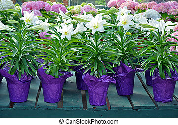Pots of white easter lilies