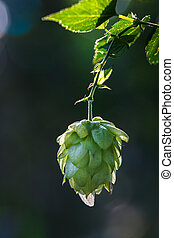 Close-up of a backlit common hop cone, ripe for picking and...