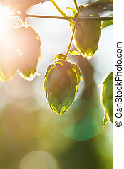 Close-up of a sunlit common hop cones, ripe for picking and...