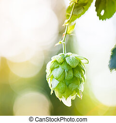 Close-up of common hop cone in soft light, ripe for picking...