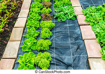 Rows of lettuce growing on an allotment garden - Rows of...