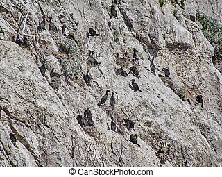 Sea cormorants