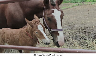 New born foal is going to mother at the nature