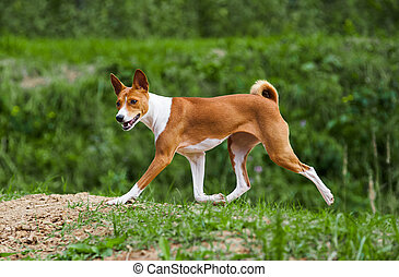 basenji dog trotting in forest - young 1 year basenji dog...