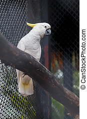 Sulphur crested cockatoo in cage - Sulphur crested cockatoo...