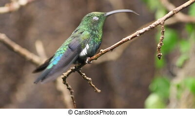 Hummingbird Perched on a Branch - Green-Throated Carib...