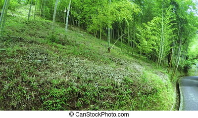 Listokolosnik pubescent bamboo - In Batumi Botanical Garden...