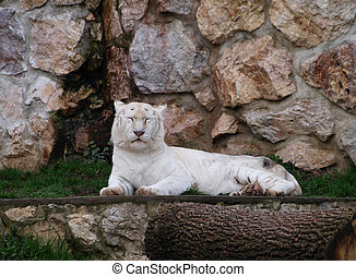 White tigress resting by the rockwall