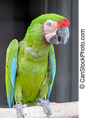 Green macaw called Buffons macaw on perch